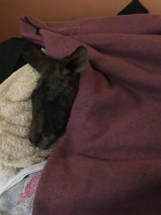 The roo is now safe and well.