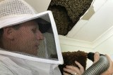 Scott Whittaker vacuuming up bees from the honeycomb he has removed from the roof.